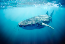 Whale Shark Swimming On The Ni...