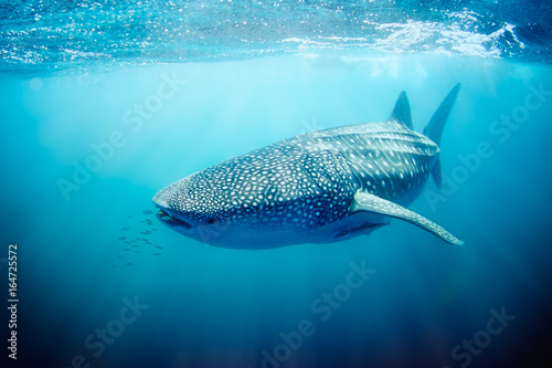 Fotomural  Whale shark swimming on the Ningaloo Reef, Western Australia