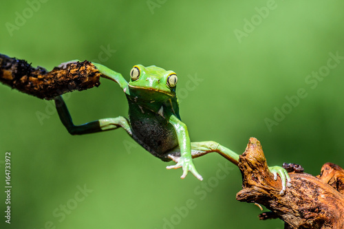 Photo sur Aluminium Cameleon Green Frog