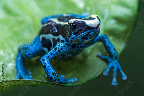 Photographie Blue frog in tropic nature
