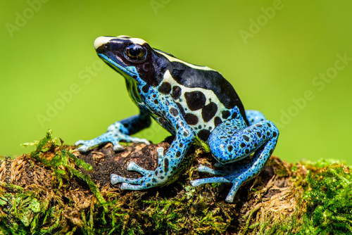 Blue frog in tropic nature