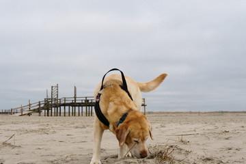 Hund beim Spaziergang im Wattenmeer