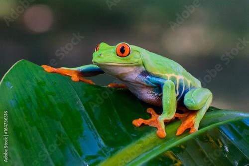 Foto op Canvas Kikker Frog(Agalychnis callidryas)
