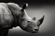 canvas print picture - Highly alerted rhinoceros monochrome portrait. Fine art, South Africa. Ceratotherium simum