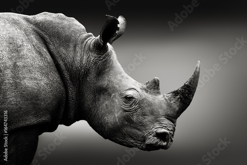 La pose en embrasure Rhino Highly alerted rhinoceros monochrome portrait. Fine art, South Africa. Ceratotherium simum