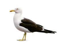 Side View Of Sea Gull