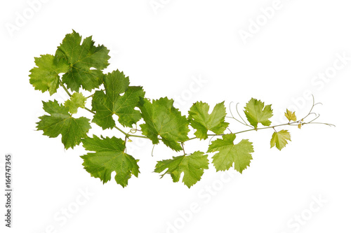 Obraz Branch of vine leaves isolated on white background - fototapety do salonu