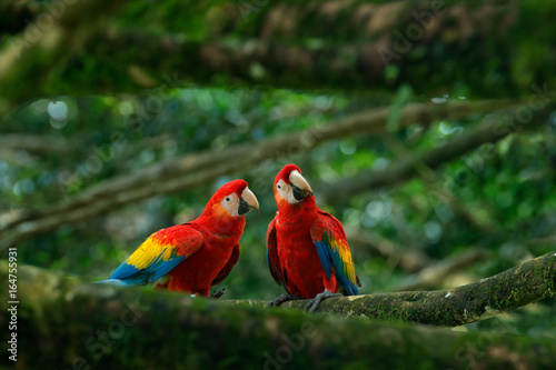 In de dag Papegaai Pair of big parrot Scarlet Macaw, Ara macao, two birds sitting on branch, Brazil. Wildlife love scene from tropic forest nature. Two beautiful parrot on tree branch in nature habitat. Green habitat.