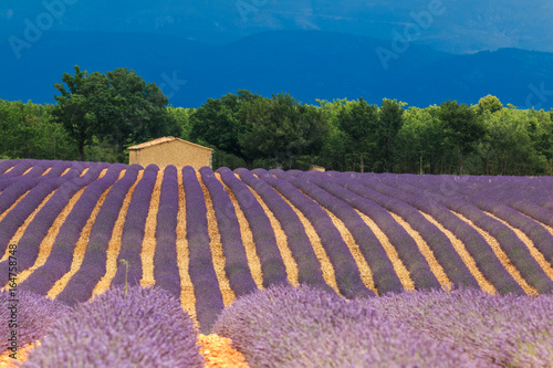 Fototapety, obrazy: Stone house in the field of the blooming lavender, France