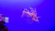 canvas print picture - Pterois volitans, Lionfish with space for your text
