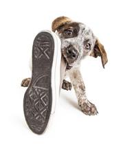 Bad Puppy Dog Stealing Shoe