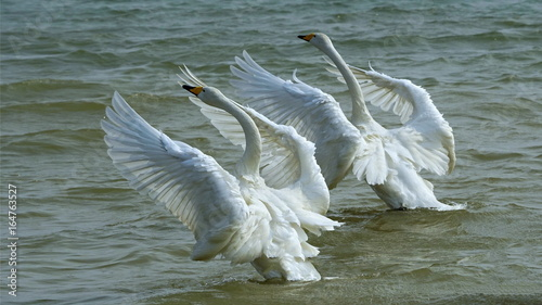 Poster Cygne Couple swans in flight on natural lake in winter