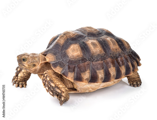 Poster Tortue Turtles isolated on white