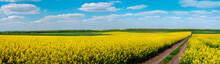 Dirt Road Through Fields Of Oilseed Rape In Bloom