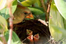 Female Cardinal Feeds Her Babies In The Nest
