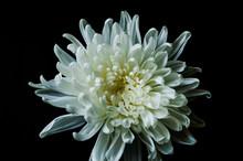 A Macro White Flower On Black Background