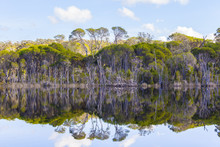Swamp Paperbark Trees Growing On Banks Of Wallagaraugh River With Beautiful Reflections At Croajingolong National Park, Australia