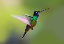 Magnificent Hummingbird (Eugen...