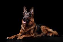 Dog German Shepherd On A Black...