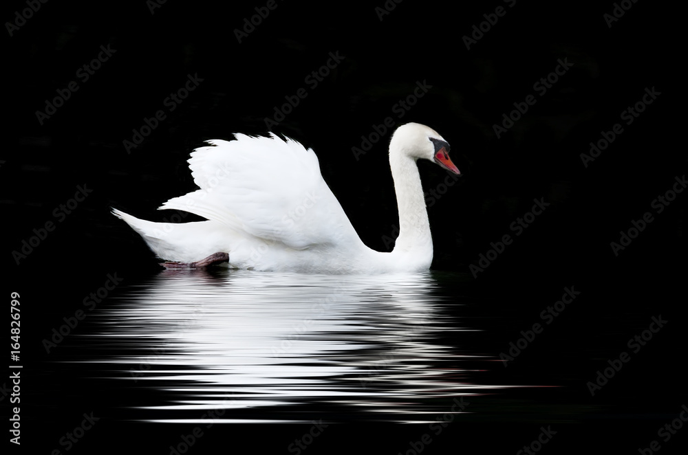 White swan on a black background
