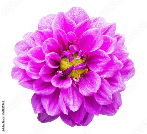 Poster de jardin Dahlia Close up of beautiful a magenta color Garden Dahlia flower with raindrops isolated on white background