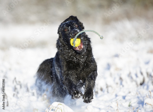 Photo  flatcoated retriever