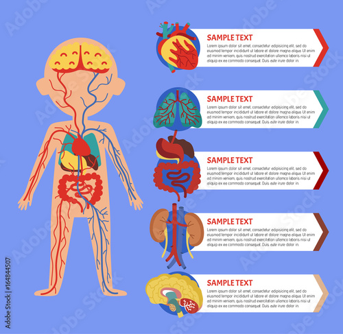Health medical poster with human body anatomy. Kidney, lung, liver ...