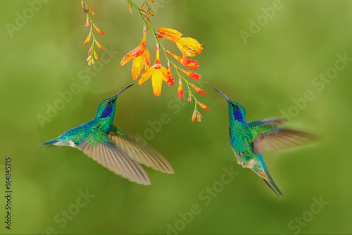Two bird with orange flower. Green hummingbirds Green Violet-ear, Colibri thalassinus, flying next to beautiful yellow flower, Savegre, Costa Rica. Action wildlife scene from nature. Bird flying.