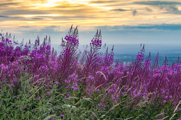 Fototapeta Fireweed or Rose Bay Willow Herb