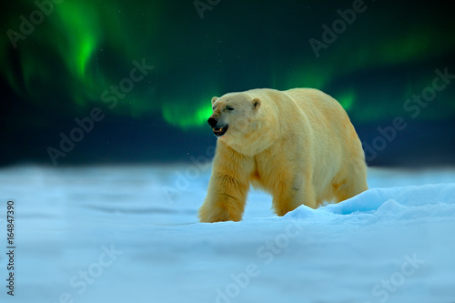 Photo sur Aluminium Aurore polaire Polar bear with Northern Lights, Aurora Borealis. Night image with stars, dark sky. Dangerous looking beast on the ice with snow, north Canada. Wildlife scene from nature. Cold winter with polar bear.