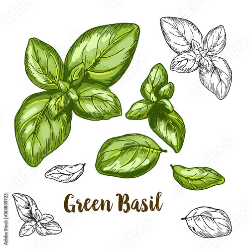 Full color realistic sketch illustration of green basil Fototapete