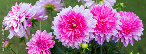 Foto op Canvas Dahlia Pink dahlia background.