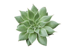 Top View Of Green Echeveria Silver Star Succulent Plant