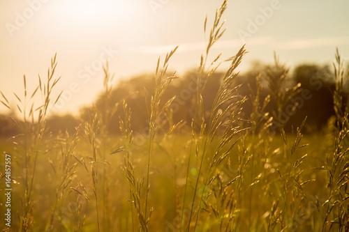 Fotobehang Gras Golden Grain