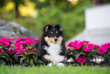 Adorable Sheltie Puppy Lying D...