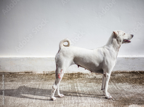 Fotografie, Obraz  White Dog bitches pet Standing gracefully is looking at the light feeling happy in the morning