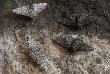 Peppered Moth (Biston Betulari...