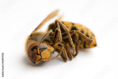 Fotografie, Obraz  Dead European Hornet (Vespa crabro), Side/Frontal view III
