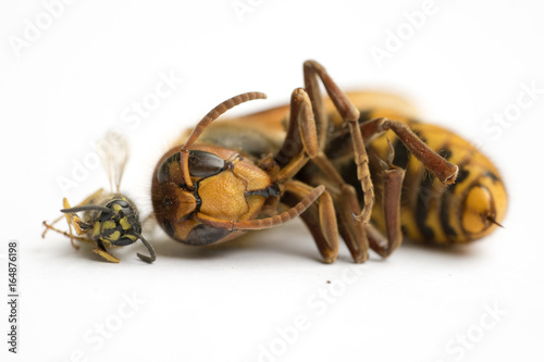 Fotografie, Obraz  Size comparison of European Hornet (vespa cabro) and Common Wasp (vespula vulgar