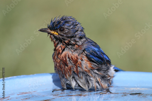 Sticker - Eastern Bluebird Beating The Heat