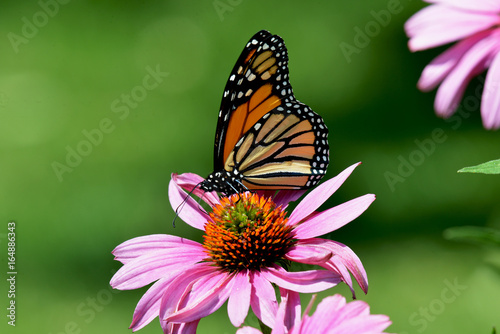 Fotografie, Obraz  Monarch butterfly on purple cone flower Danaus plexippus