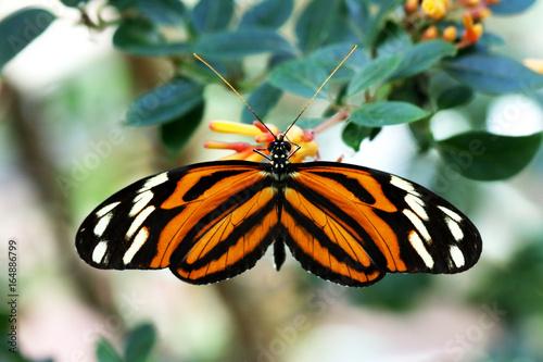 motyl-tygrysi-zbierajacy-pokarm-z-kwiatu