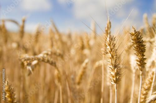 Fotografie, Obraz  Champ de blé