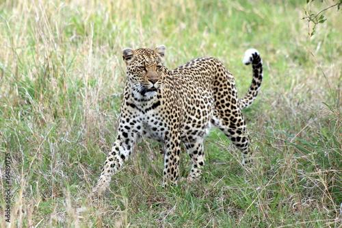 Plakat Żeński lamparta polowanie w prywatnej rezerwie w Południowa Afryka