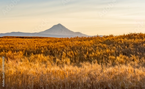 Wheat Field Ready to Harvest in Central Oregon Wallpaper Mural