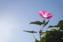 Single Pink Morning Glory Flower With Leaves