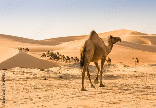 Keuken foto achterwand Kameel camel in liwa desert