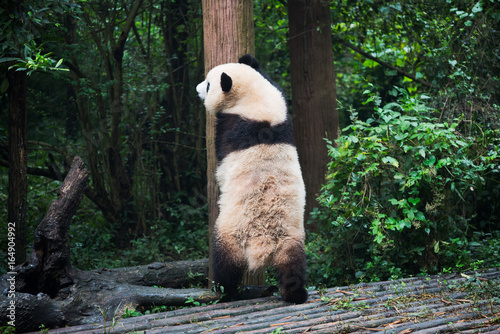 Stickers pour porte Panda Giant panda standing against a tree trunk