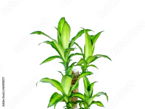Valokuvatapetti green dracaena fragrans cornstalk dracaena isolated on a white background