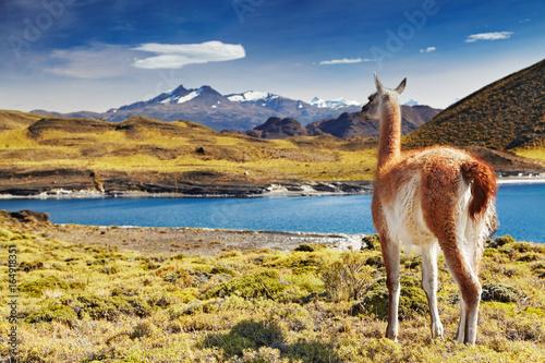Staande foto Lama Torres del Paine, Patagonia, Chile